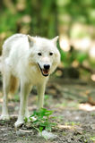 Wild wolf in the woods. Wild arctic wolf in the woods Stock Photo