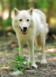 Wild wolf in the woods Stock Image