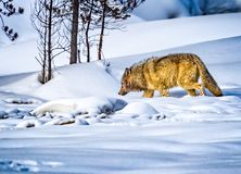 Wild wolf of Yellowstone leaves a kill sight after eating stock images