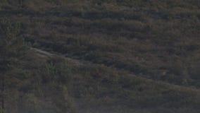 Wild wolfspak die, schot ultra over lange afstand lopen stock video