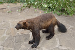 Wild  Wolverine Royalty Free Stock Image