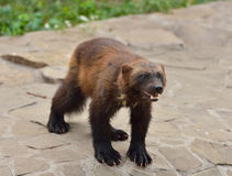 Wild Wolverine. Wolverine also referred to as glutton, carcajou, skunk bear, or quickhatch, is the largest land-dwelling species of the family Mustelidae ( royalty free stock images