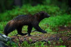 Wild wolverine in Finnish taiga. Raptor in the nature in north Europe. Dangerous animal with open mouth. Wolverine hunting during. The dark nigfht. Wildlife royalty free stock images