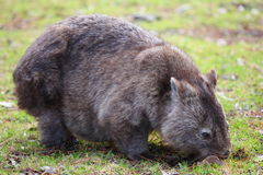 Wild wombat grazing. A Wombat grazing at daylight (commonly not seen by day) - picture taken at a picnic area in the Cordeaux Dam Reserve, NSW Royalty Free Stock Image