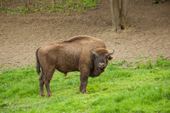 Wild wood bison. Buffalo Royalty Free Stock Image