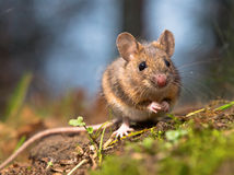 Wild wood mouse. Sitting on the forest floor Royalty Free Stock Image