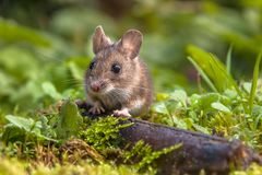 Cute Wood mouse peeking. Wild Wood mouse (Apodemus sylvaticus) peeking from behind a log on the forest floor royalty free stock photo