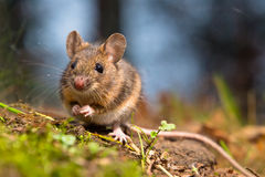 Wild wood mouse. Sitting on the forest floor Royalty Free Stock Photos