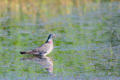 Wild Wood pigeon or Columba palumbus in water of pond
