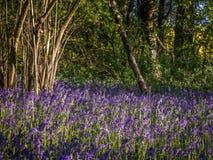 Wild woodland Flowers  Bluebells Royalty Free Stock Image
