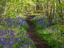 Wild woodland Flowers  Bluebells Stock Photography