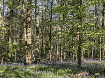 Wild woodland Flowers  Bluebells Stock Images