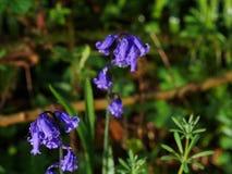 Wild woodland Flowers  Bluebells Stock Image