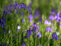 Wild woodland Flowers Royalty Free Stock Photo