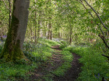 Wild woodland Footpath  Bluebells Royalty Free Stock Image