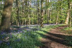 Wild woodland Footpath  Bluebells Royalty Free Stock Photo