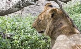 Wild Wounded African Lion Panthera leo Resting in the Bushes Stock Photos