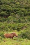 Wild wrattenzwijn Stock Afbeelding