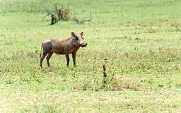 Wild wrattenzwijn Stock Foto