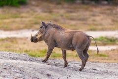 Wild wrattenzwijn die in Addo National-park, Zuid-Afrika lopen royalty-vrije stock afbeelding
