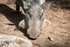 Wild wrattenzwijnhoofd Stock Foto's