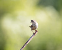 Wild wren set on metal post with green background Royalty Free Stock Images
