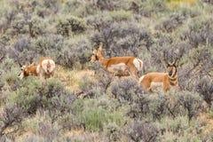 Wild Wyoming Mustang on the High Plains. Tan wild mustang on the high plains of Wyoming standing in sage brush royalty free stock image