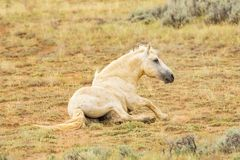 Wild Wyoming Mustang. Tan wild mustang on the high plains of Wyoming laying down on the grass royalty free stock photos