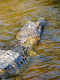 Wild yacare (crocodile / caiman) in a river of Pantanal area, Br Stock Photos