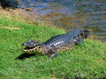 Wild yacare (crocodile / caiman) taking a sunbath in a river of Stock Photo