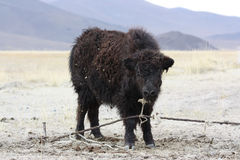 Wild yak Royalty Free Stock Photo