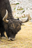 Wild yak Royalty Free Stock Image