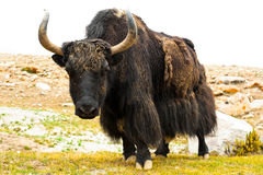 Wild Yak Royalty Free Stock Photos