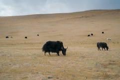 wild yak Arkivbilder