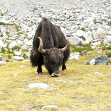 Wild yak in Himalaya mountains. India, Ladakh Stock Photos