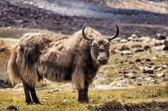 Wild yak in nubra valley Royalty Free Stock Photos