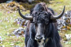 Wild yak at Yumthang valley, North Sikkim, Eastern Himalayas, India. Wild yak looking straight through the lens at Yumthang valley, North Sikkim, Eastern stock photography