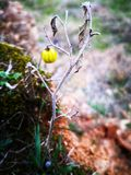 A wild yellow  berry. A wild yellow berry growing in the forest with the green moss around and the grass Stock Photography