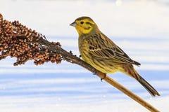 Wild yellow bird on a feeding boat in winter Royalty Free Stock Photo