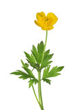 Wild yellow buttercup flower with green leaves Stock Photography
