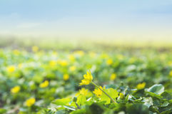 Wild yellow buttercups against sky Royalty Free Stock Images