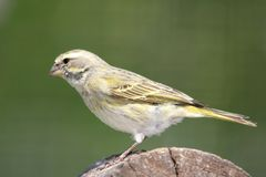 Wild Yellow Canary. Bird perched on a log Royalty Free Stock Images