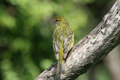 Wild Yellow canary. Perched on dead branch Stock Photo