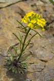 Wild Yellow Cascade Wallflower growing out of Rock Stock Photo