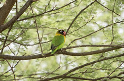 Wild Yellow-collared Lovebird Agapornis personatus Perched in a Tree Royalty Free Stock Photos