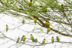 Wild Yellow-collared Lovebirds Agapornis personatus Perched in a Tree Royalty Free Stock Image