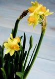 Wild Yellow Daffodils Stock Image