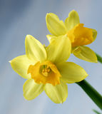 Wild Yellow Daffodils Royalty Free Stock Images