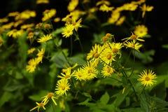 Wild yellow daisies Stock Photos