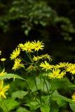 Wild yellow daisies Royalty Free Stock Photos